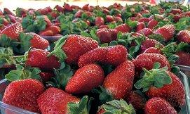 קטיף תותים ואכילה חופשית