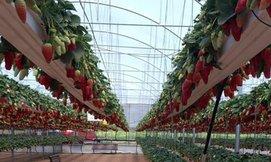 חוויה חקלאית וקטיף תותים