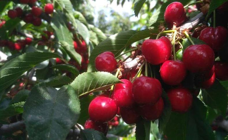 פטל בהר: קטיף ואכילת פירות יער